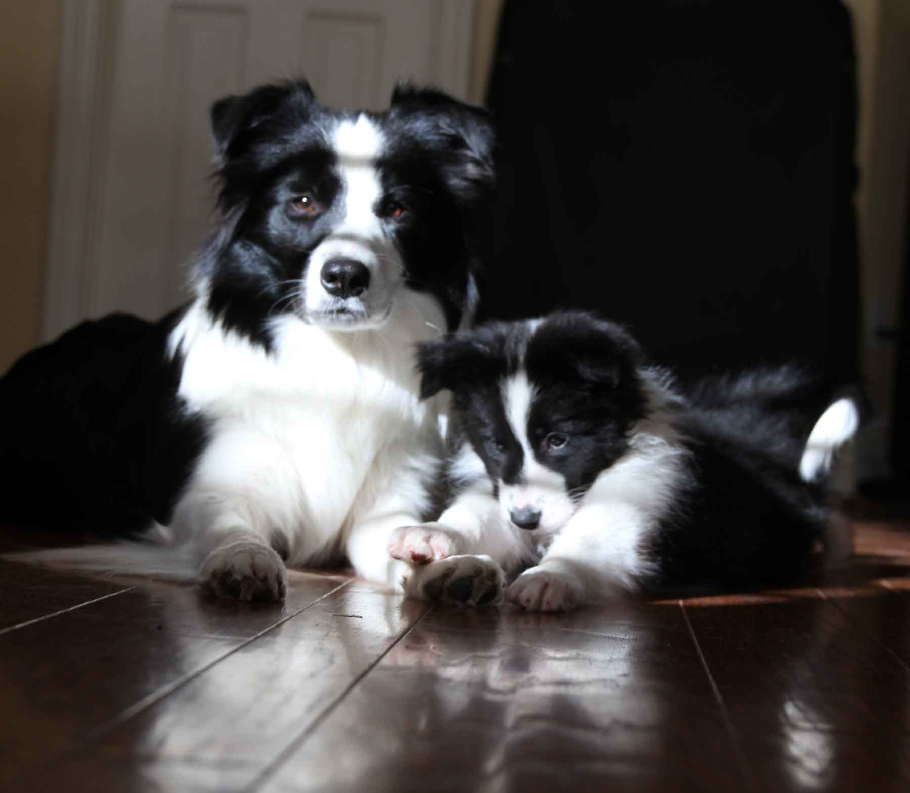 Rigel Border Collies Home
